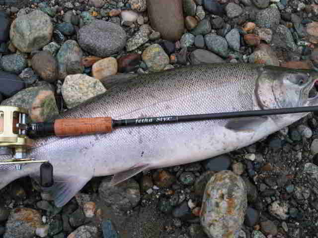 Coho in the Manistee River – Michigan Fishing Report
