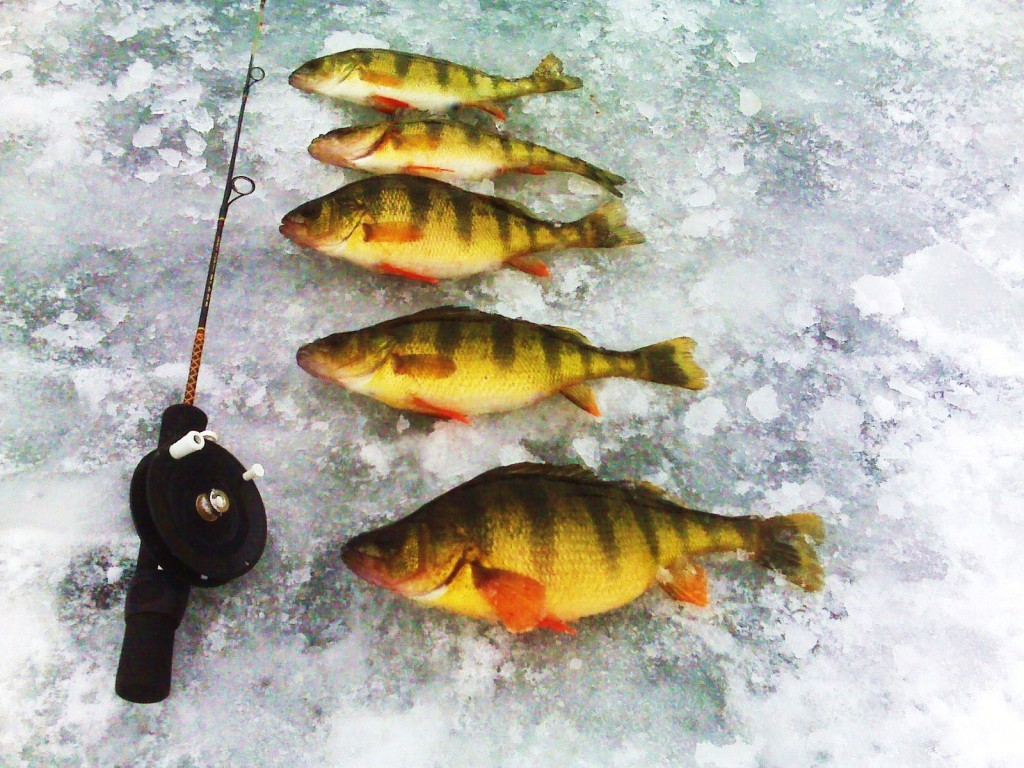 Mess ice fishing yellow perch for Sun perch fish