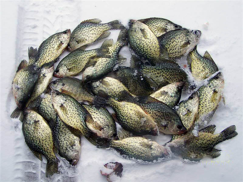 crappies_on_ice