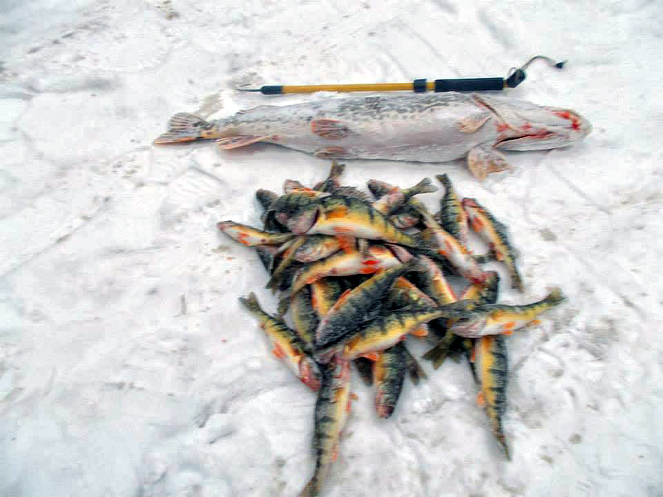 Higgins lake perch and pike are doing well michigan for Lake michigan perch fishing report