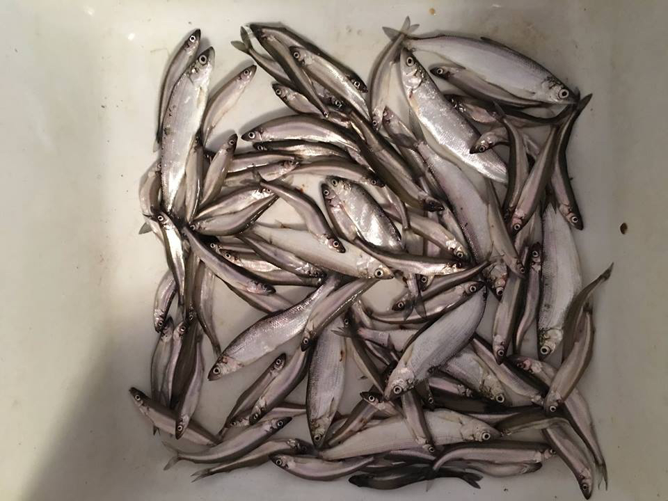 Smelt and ciscoes from Higgins Lake